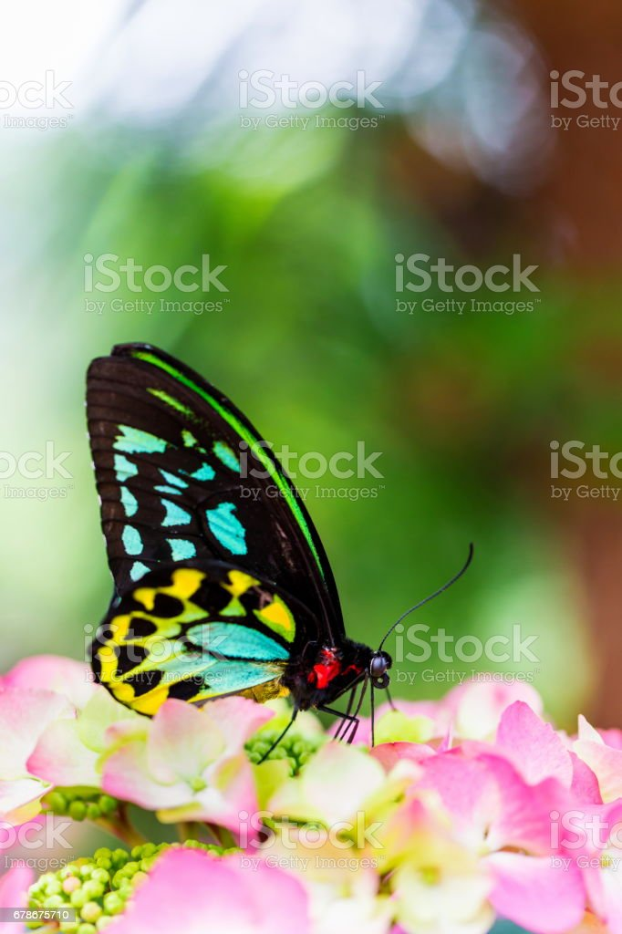 Cairns birdwing butterfly. stock photo