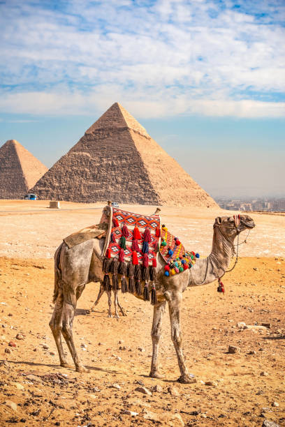11/18/2018 Cairo, Egypt, tourist camels standing against the background of ancient pyramids on a hot sunny day stock photo