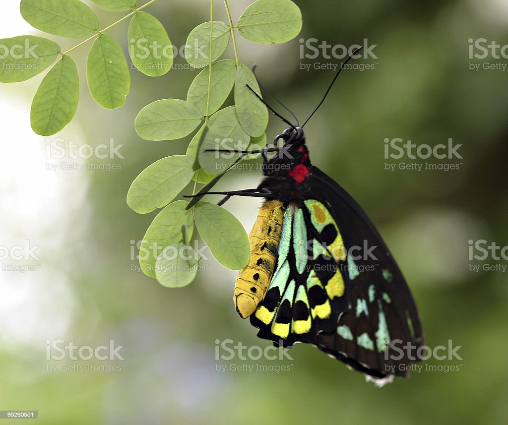 Cairus Birdwing Butterfly Hanging From A Leaf stock photo
