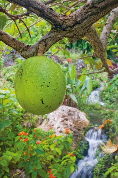 Calabash-Frucht auf Calabash-Baum. dominica, karibisch. – Foto