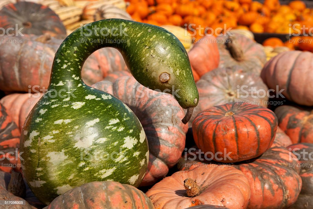 Calabash pumpkin type squash with unique snake like shape stock photo
