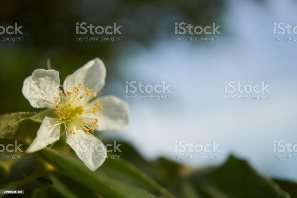 Calabura, Jam tree, Jamaican cherry, Malayan Cherry, West Indian Cherry stock photo
