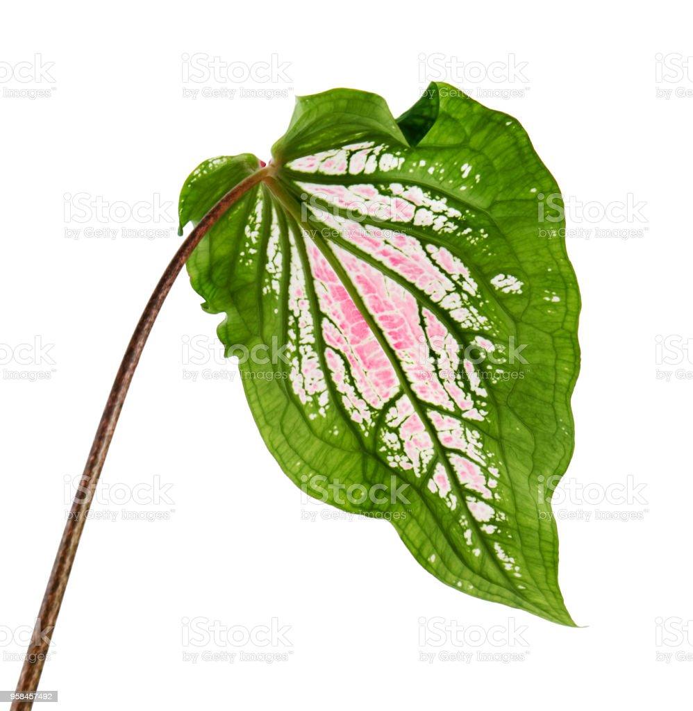 caladium bicolor with pink leaf and green veins pink caladium