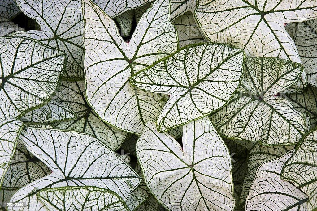 Caladium Candidum leaves stock photo