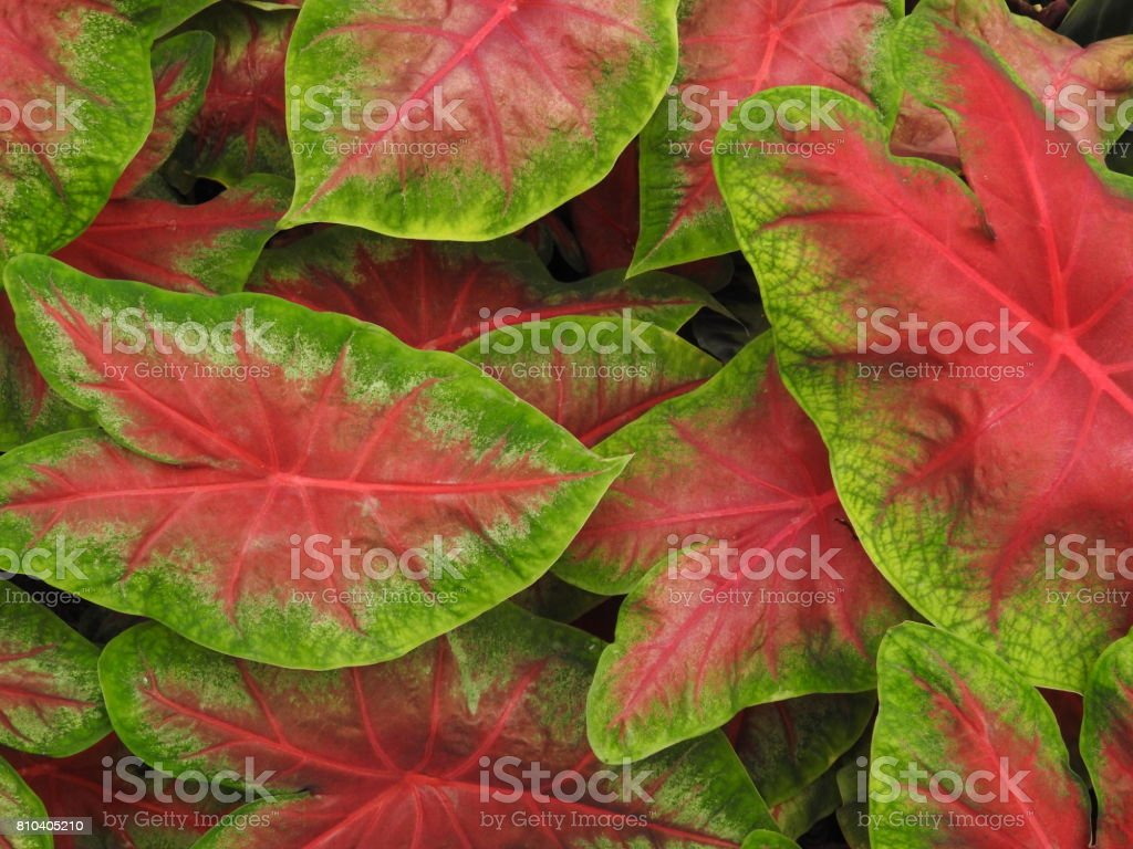 Caladium Elephant Ear Plant Stock Photo Download Image Now Istock