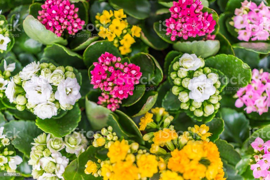 Calandiva flores em exposição em uns potenciômetros - foto de acervo
