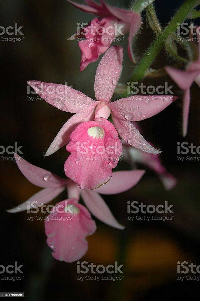 Calanthe rosea royalty-free stock photo
