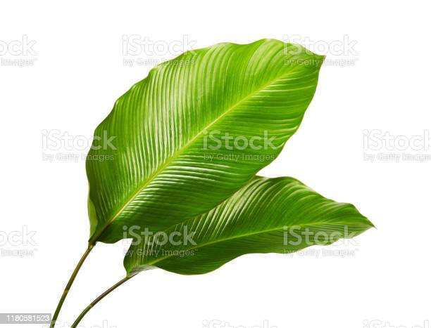 Photo of Calathea foliage, Exotic tropical leaf, Large green leaf, isolated on white background with clipping path