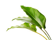 istock Calathea foliage, Exotic tropical leaf, Large green leaf, isolated on white background with clipping path 1180581619