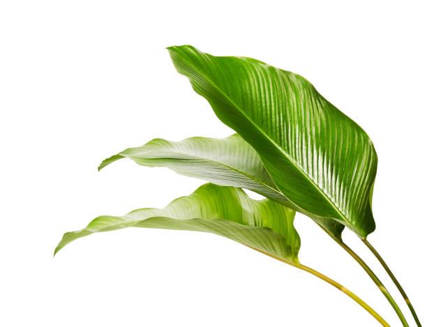 calathea gebladerte, exotische tropische blad, grote groene blad, geïsoleerd op witte achtergrond met knippen pad - landelement stockfoto's en -beelden