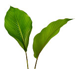 istock Calathea foliage, Exotic tropical leaf, Large green leaf, isolated on white background with clipping path 1251076374