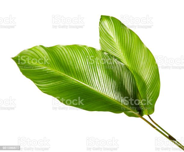 Calathea foliage exotic tropical leaf large green leaf isolated on picture id931586872?b=1&k=6&m=931586872&s=612x612&h=kt30yq3gidlfnxtblz3qarytaw0l7vvsllav4ezsb4w=