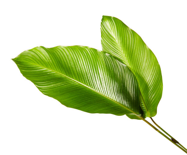 calathea foliage, exotic tropical leaf, large green leaf, isolated on white background with clipping path - leaf imagens e fotografias de stock