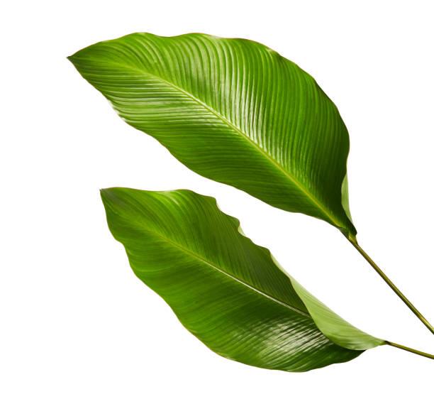 Calathea foliage exotic tropical leaf large green leaf isolated on picture id939974976?b=1&k=6&m=939974976&s=612x612&w=0&h=51vthvgsparbhtzpbmfyobrmpkjup4vuppz er3ray0=