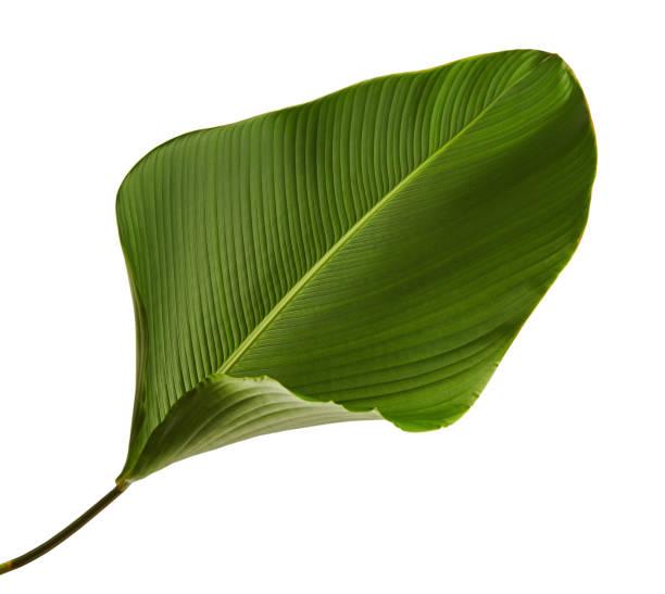 Calathea lutea foliage exotic tropical leaf calathea leaf isolated on picture id913961754?b=1&k=6&m=913961754&s=612x612&w=0&h=j hvkbn56me2ljbavthgaedw9e 6jdqqmjvghzybtnk=