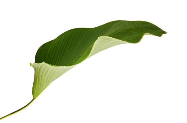クズウコン属 lutea 葉、(キューバ産の葉巻、シガーのクズウコン属)、エキゾチックなトロピカル リーフ、クズウコン属葉クリッピング パスと白い背景で隔離 - 長い ストックフォトと画像