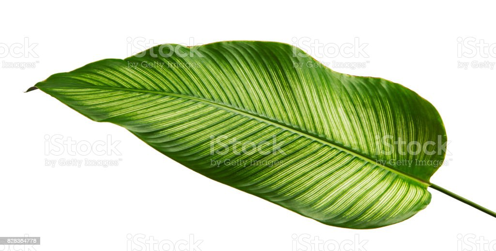 Calathea ornata (Pin-stripe Calathea) leaves, tropical foliage isolated on white background, with clipping path stock photo