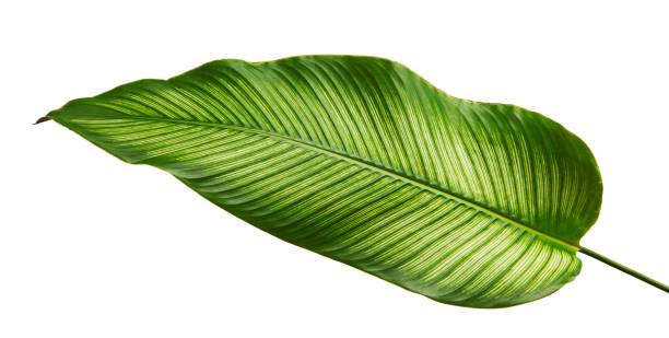 calathea ornata (핀 스트라이프 calathea) 나뭇잎, 열 대 경 엽 클리핑 경로와 흰색 배경에 고립 - 관상용 식물 뉴스 사진 이미지