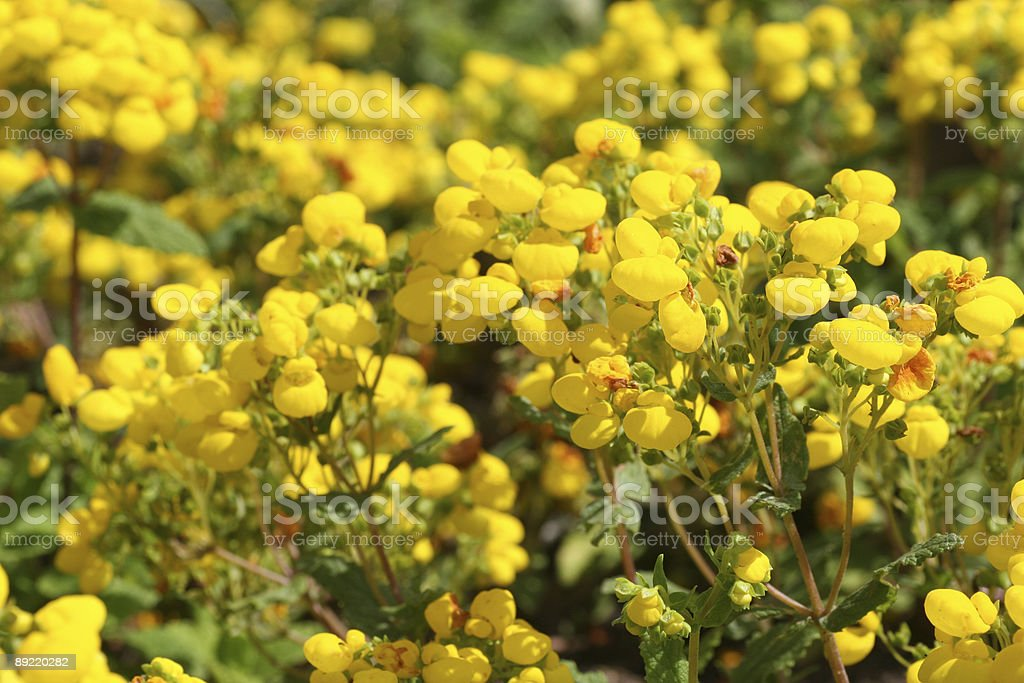 Calceolaria I stock photo