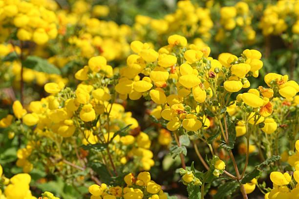 Calceolaria I stock photo