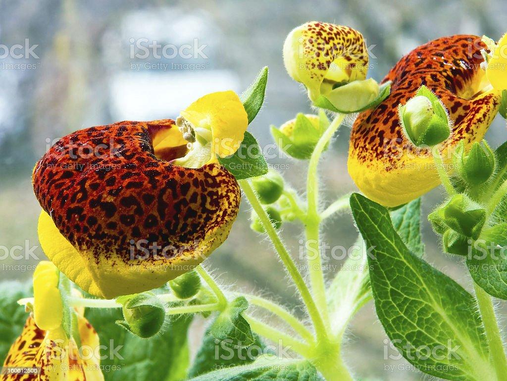 Calceolaria royalty-free stock photo