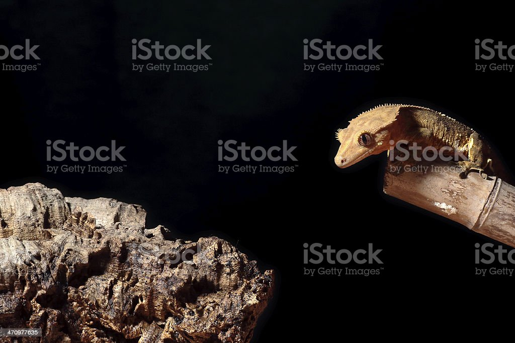 Caledonian crested gecko jumping royalty-free stock photo