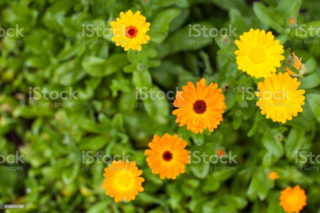 Calendula-Blüten – Foto