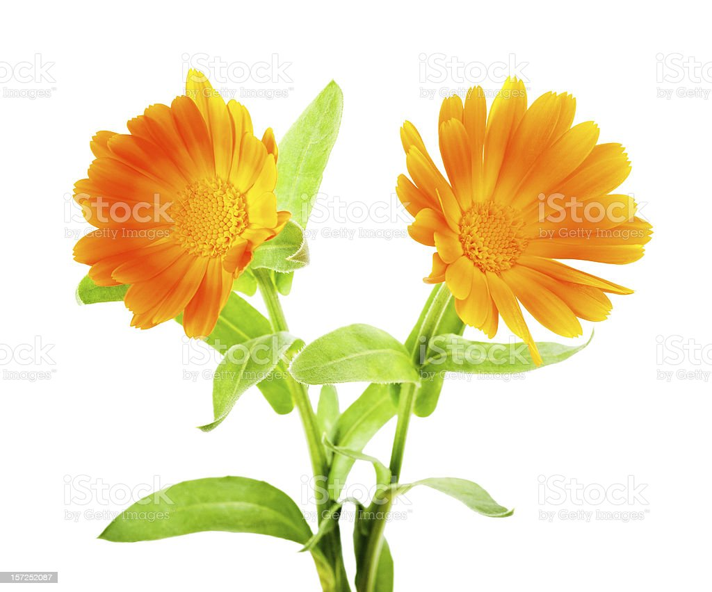Calendula flowers royalty-free stock photo