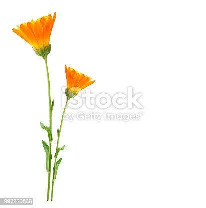Bright marigold flowers isolated on white background.