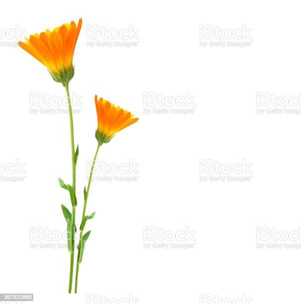 Calendula flowers picture id997820866?b=1&k=6&m=997820866&s=612x612&h=mv79qvbeuv2ahrjzvaukqlmp6pc2zdnmjqh5adx90ew=
