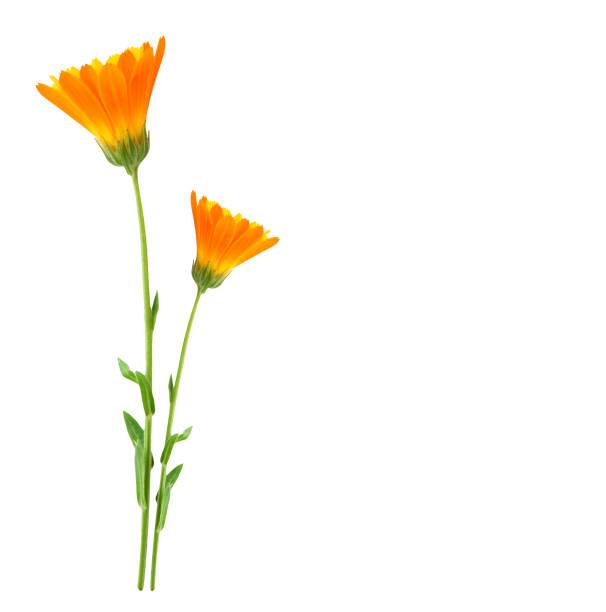 calendula çiçekler - kır çiçeği stok fotoğraflar ve resimler