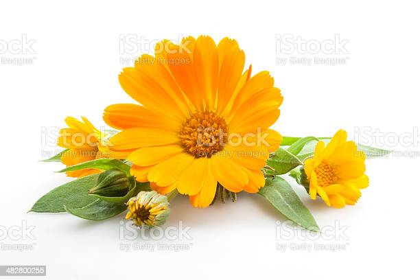 Calendula flowers with leaves isolated on white picture id482800255?b=1&k=6&m=482800255&s=612x612&h=amqlfzpwdoyt sgbtpgcv udsqfjkcoswxmh6c5hvte=