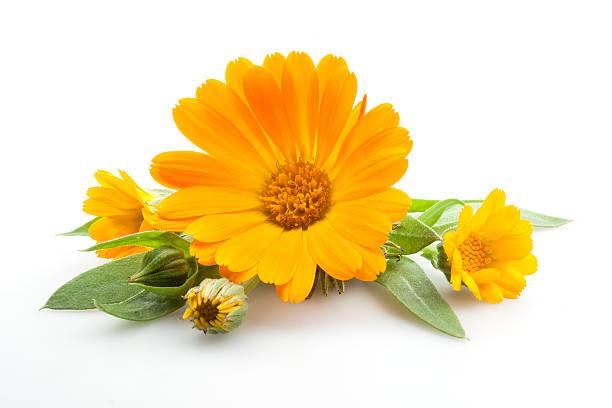 caléndula.  flores y hojas aislada sobre blanco - margarita fotografías e imágenes de stock