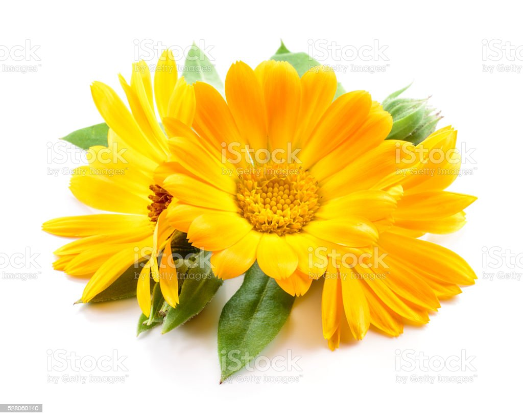 Calendula. Flowers with leaves isolated on white stock photo