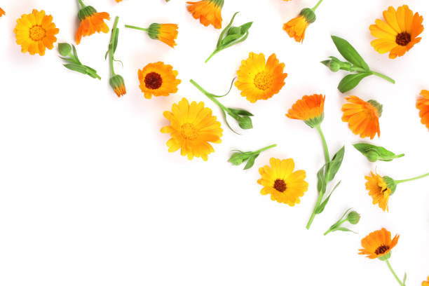 Calendula marigold flower isolated on white background corner with picture id903198616?b=1&k=6&m=903198616&s=612x612&w=0&h=exzzd3yyzmxefs4yjlhslb92hzaisokazealmhhbkvy=