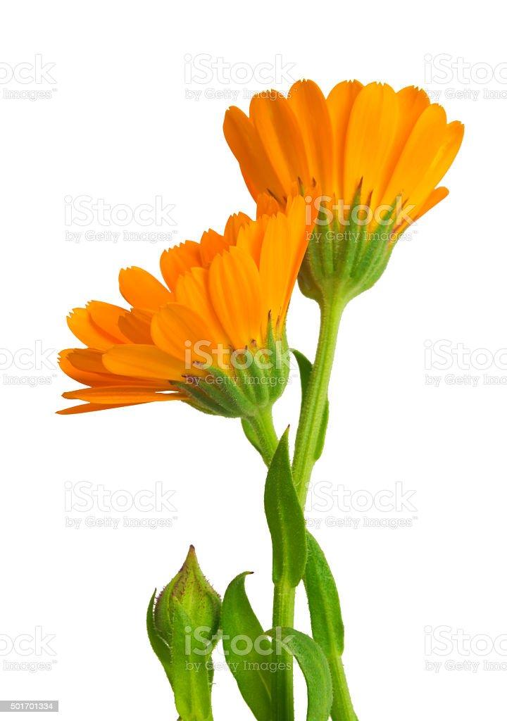 Calendula marigold flowers with leaves isolated on white stock photo marigold flowers with leaves isolated on white royalty free stock photo mightylinksfo