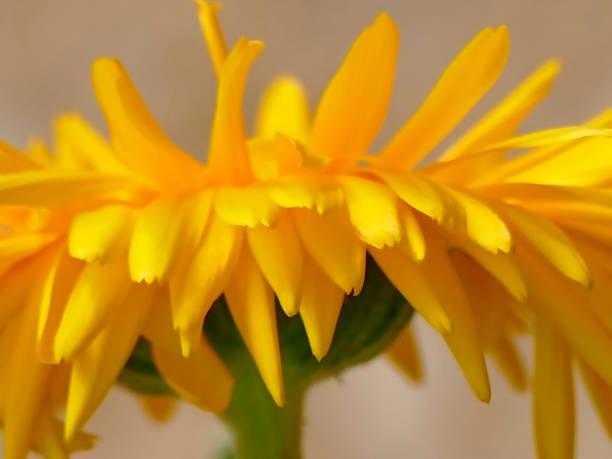 Calendula, medicinal plant with flower stock photo
