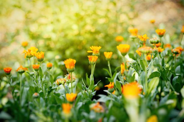 calendula officinalis field in garden organic – Foto