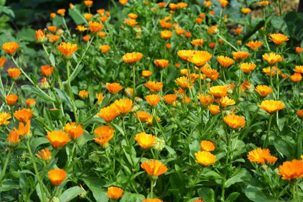 Calendula officinalis of Pot Marigold, Common Marigold, Scotch Marigold, Ruddles, Pot Marigold House Herbal Garden Foto foto
