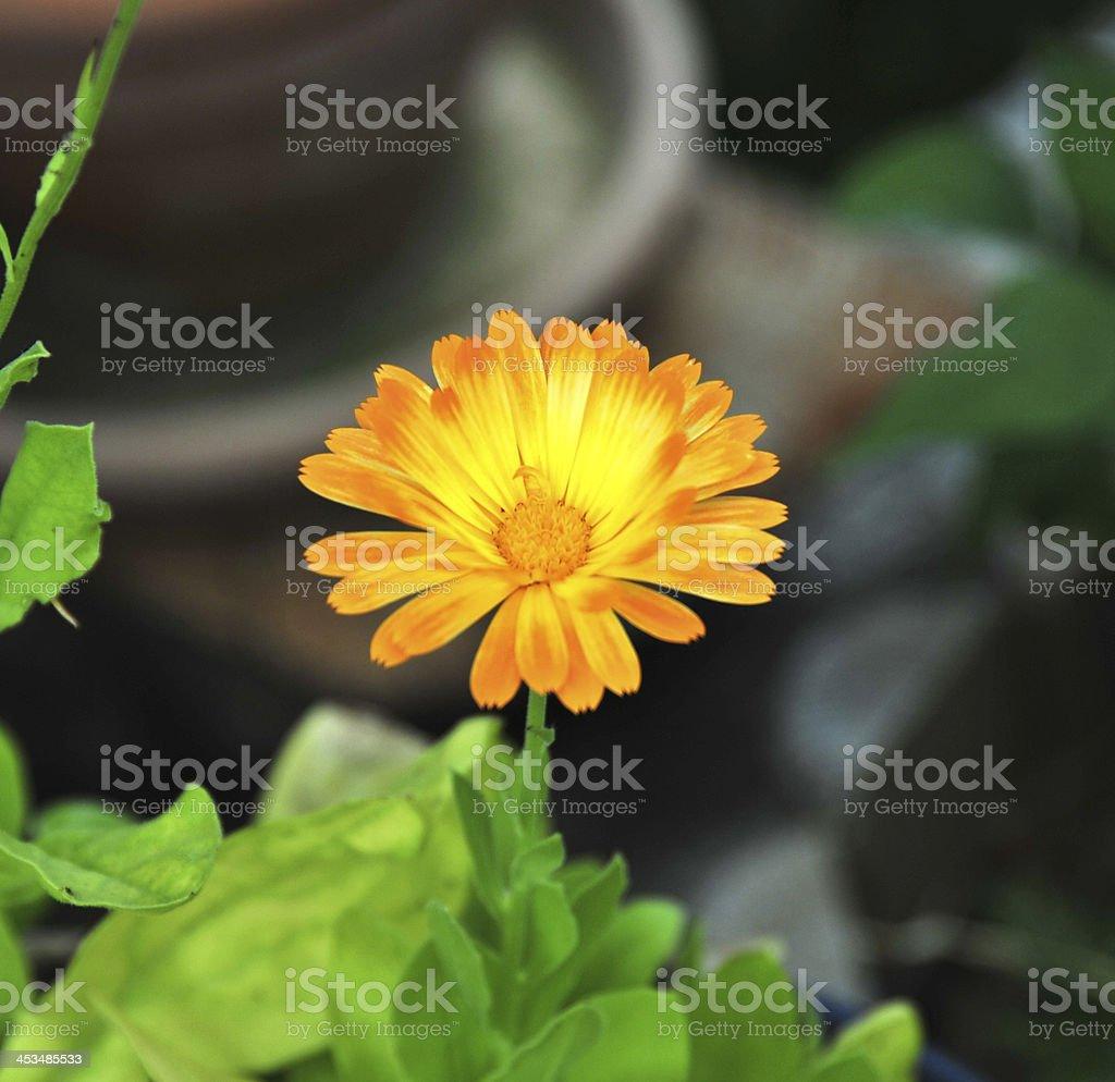 Calendula officinalis (marigold) royalty-free stock photo