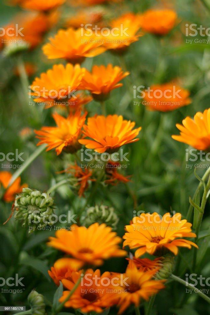 Calendula officinalis, pot marigold, ruddles, calêndula comum ou calêndula Scotch, Ringelblume - foto de acervo