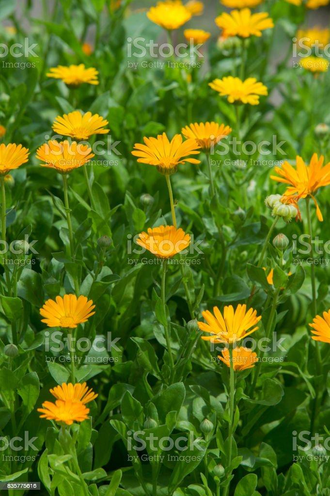 Ringelblume oder Ringelblume (Calendula)-wunderbare orange