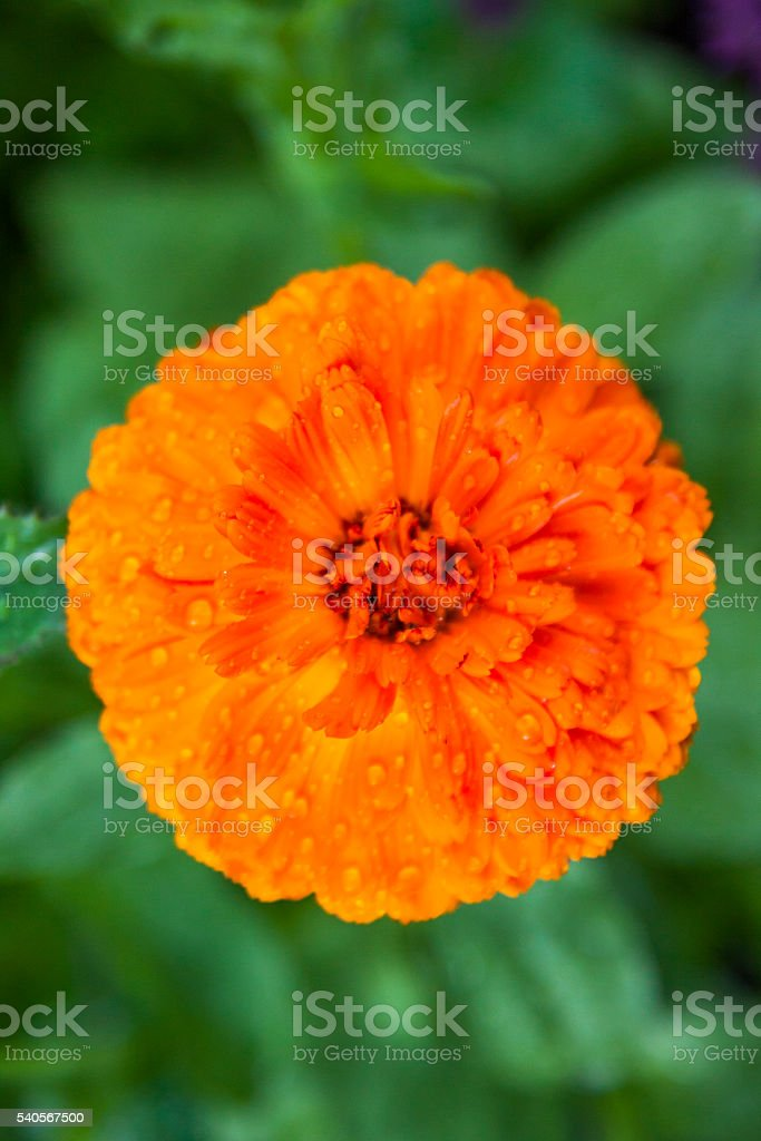 Calendula Orange stock photo