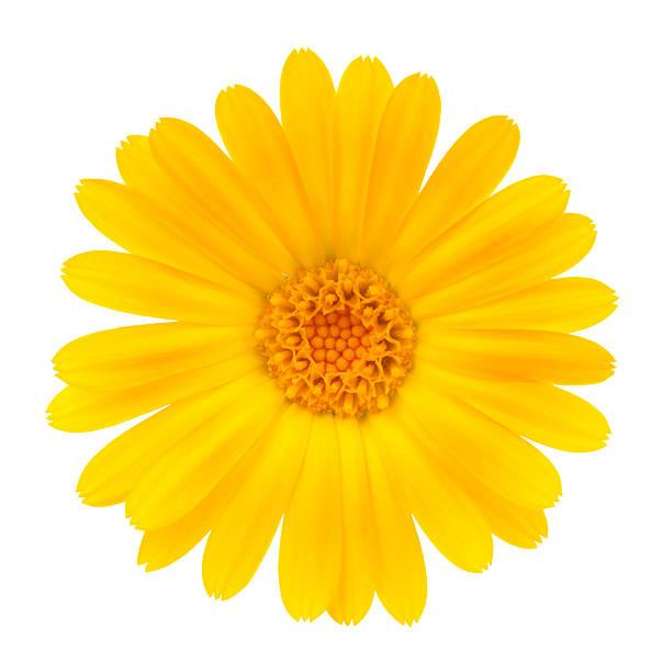 calendula - 黃色 個照片及圖片檔