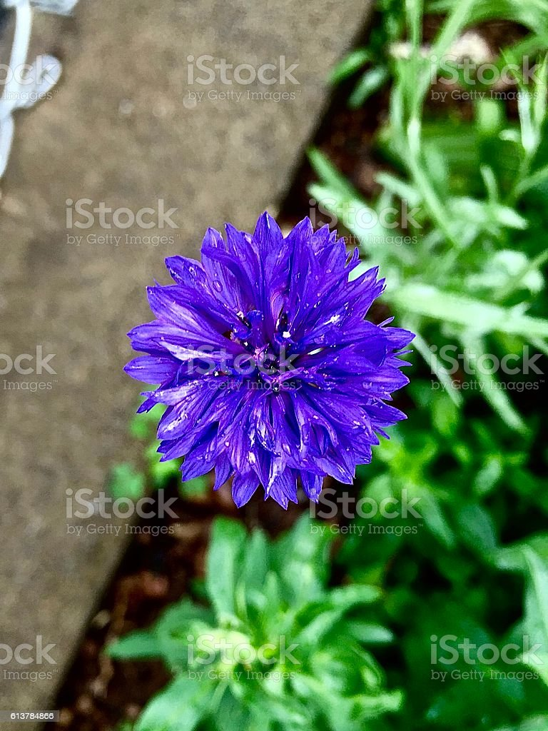 calendula stock photo