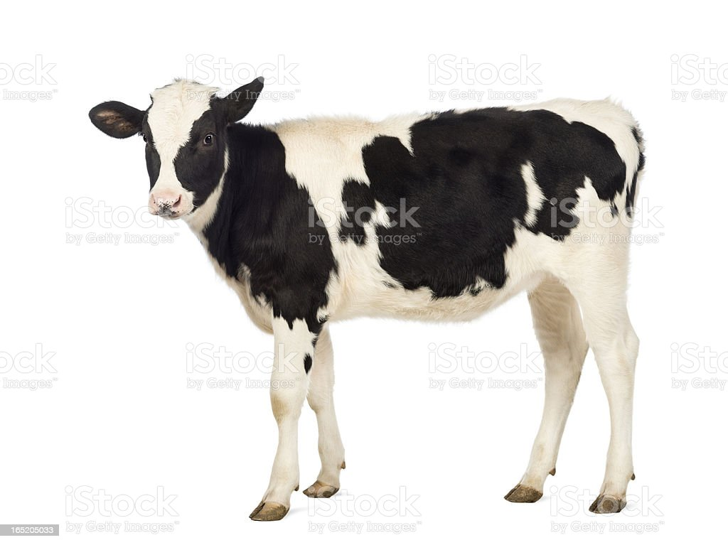 Calf, 8 months old, in front of white background stock photo