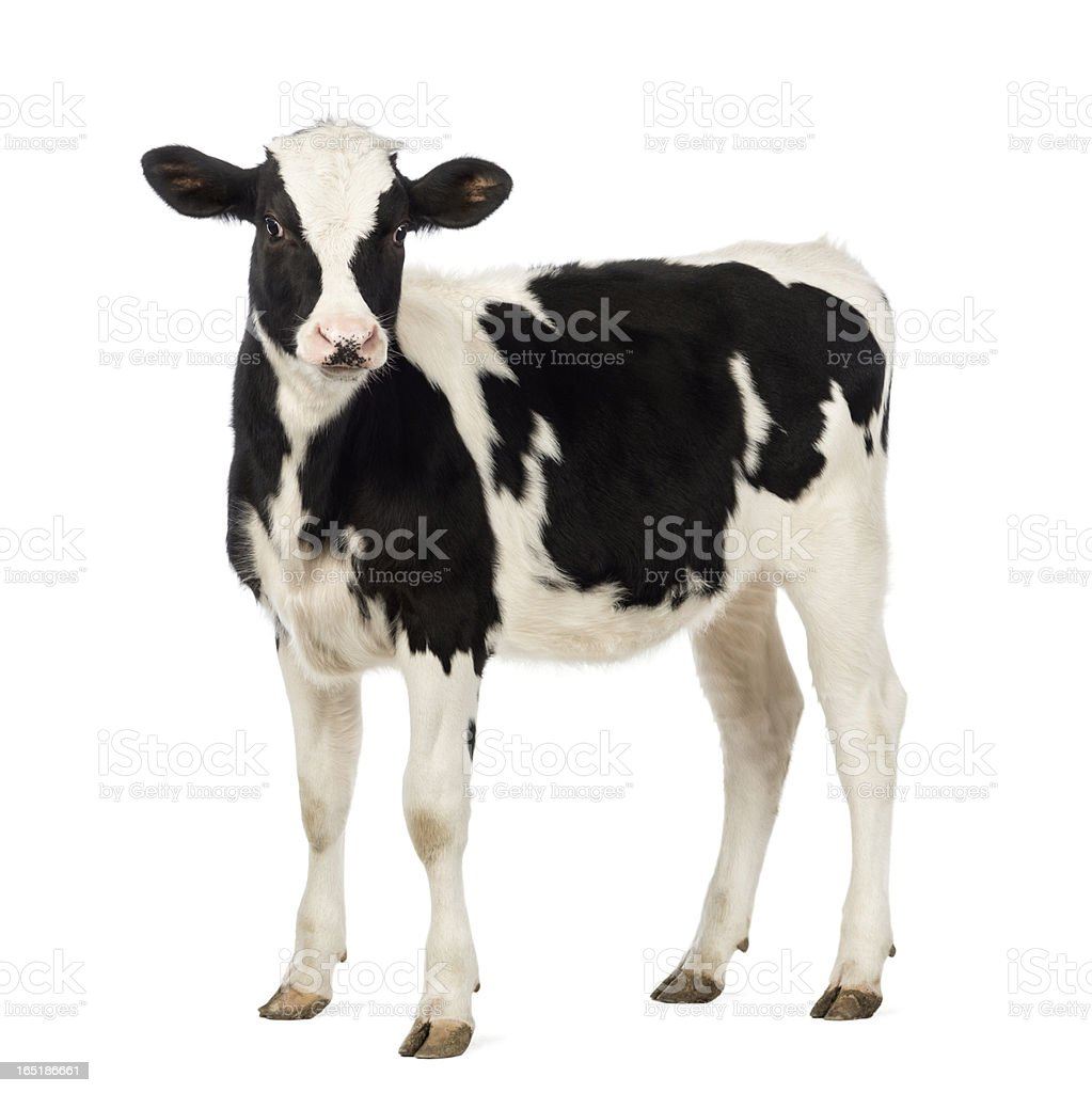 Royalty Free Cow Pictures Images and Stock Photos iStock