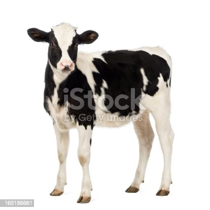istock Calf, 8 months old, looking at the camera 165186661