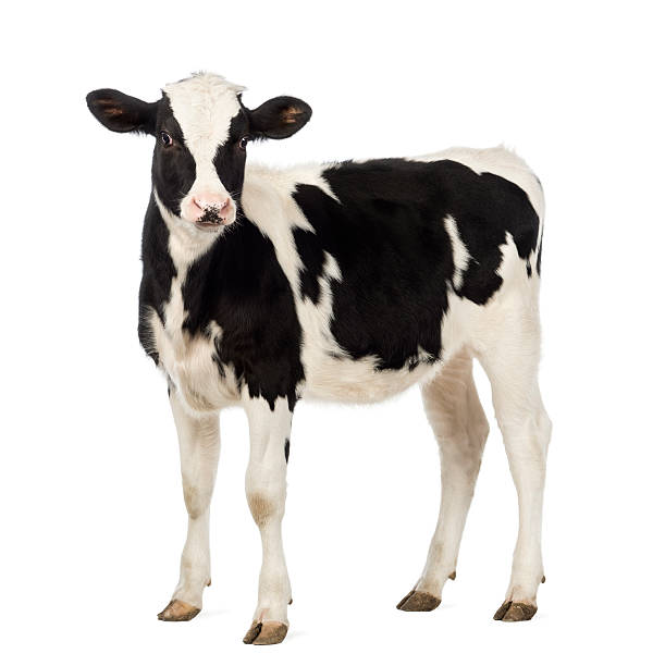 Calf, 8 months old, looking at the camera stock photo