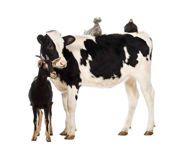Calf, 8 months old, standing with a Polish chicken stock photo